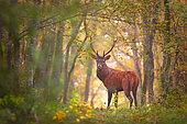 Cerf élaphe (Cervus elaphus) mâle en forêt, Forêt de Sacy, Yonne, Bourgogne, France
