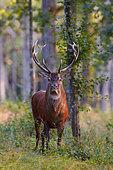 Cerf élaphe (Cervus elaphus) mâle en forêt, Yonne, Bourgogne, France