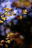 Autumn foliage, Yonne, Burgundy, France