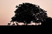 RoeDeer (Capreolus capreolus) under a tree at dawn, Yonne, Burgundy, France