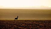 Roedeer (Capreolus capreolus) male in plain at dawn, Oise, Picardie, France