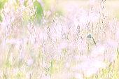 Blue on grass in a meadow, Yonne, Burgundy, France