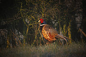 Ring-necked Pheasant (Phasianus colchicus) male on the ground, Yonne, Burgundy, France