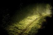 Wild rabbit (Oryctolagus cuniculus) on a path at sunrise, Yonne, Burgundy, France