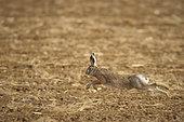 European hare (Lepus europaeus) running, Nievre, Burgundy, France