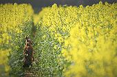 European Hare (Lepus europaeus) in a rapeseed field in bloom, Yonne, Burgundy, France