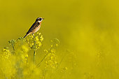 Whinchat (Saxicola rubetra) in a rapeseed field in bloom, Yonne, Burgundy, France