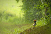 Red fox (Vulpes vulpes) young in the grass, Yonne, Burgundy, France