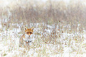Red fox (Vulpes vulpes) in a snow-covered meadow, Yonne, Burgundy, France