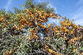Sea buckthorn (Hippophaë rhamnoides) in fruit in summer, Pas de Calais, France