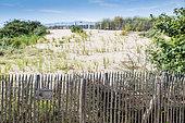 Planting of Beachgrasses (Ammophila arenaria) to fix the dune, Wissant, Côte d'Opale, Pas-de-Calais, France