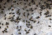 Invasion of Face flies (Musca autumnalis) in an attic, Pas de Calais, France