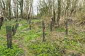 Planting of beech trees after a sanitary cut of ash trees affected by chalarosis, Audinghen, Pas de Calais, France