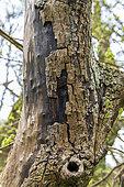 Trunk af an Ash tree affected by chalarosis, Audinghen, Pas de Calais, France