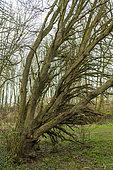 Ash trees affected by chalarosis, Audinghen, Pas de Calais, France
