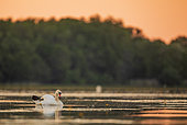 Mute swan (Cygnus olor), at sunset, on a pond in Dombes, France
