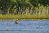 Great cormorant (Phalacrocorax carbo) fishing for carp in a pond in the Dombes, France