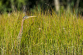 Purple heron (Ardea purpurea) in the reed bed of a pond in the Dombes, Ain, France