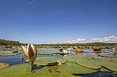 White water lily (Nymphaea alba) on a pond in Dombes, Ain, France