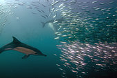 Long-beaked Common Dolphins (Delphinus capensis) feeding on baitball of Southern African Pilchards (Sardinops sagax), Port St. Johns, Wild Coast, Eastern Cape, Transkei, South Africa, Africa, Indian Ocean