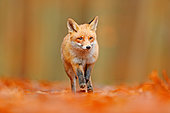 Red Fox (Vulpes vulpes) walking in the forest with red autumn colors and orange autumn leaves, Germany