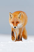 Red Fox (Vulpes vulpes) walking in the snow, Germany