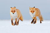 Red Fox (Vulpes vulpes) pair in the snow, Germany
