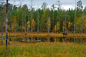 Eurasian Brown Bear (Ursus arctos) walking at edge of forest lake in colorful autumn colors, Finland