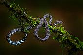 Cloudy Snail-Eater (Sibon nebulatus), close-up on mossy tree, Costa Rica
