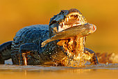 Yacare caiman (Caiman yacare) close-up catching fish, Pantanal, Brazil