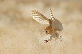 Western Barn Owl (Tyto alba) flying, France