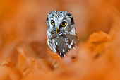 Boreal Owl (Aegolius funereus) perched on a branch, Germany