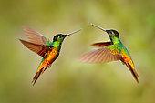 Golden-bellied Starfrontlet (Coeligena bonapartei) males flying, Colombia