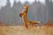 Red Fox (Vulpes vulpes) standing on hindlegs in meadow, Germany