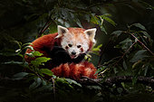 Red Panda (Ailurus fulgens) resting in tree in forest, China