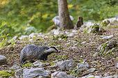 Eurasian badger (Meles meles) in forest, Slovenia