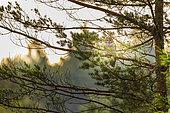 Ural Owl (Strix uralensis) in a tree in a forest, Slovenia