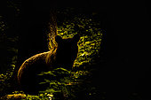 Brown bear (Ursus arctos) against the light in a forest, Slovenia.