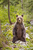 Brown bear (Ursus arctos) Female standing up to inspect and smell her surroundings in a forest, Slovenia.