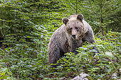 Brown bear (Ursus arctos) female in a forest, Slovenia.