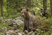 Brown bear (Ursus arctos) female with cub in a forest, Slovenia.