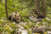 Brown bear (Ursus arctos) female with two cubs in a forest, Slovenia.