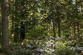 Brown bear (Ursus arctos) in a forest, Slovenia.