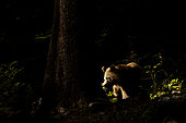 Brown bear (Ursus arctos) female against the light in a forest, Slovenia.