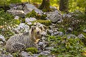 Brown bear (Ursus arctos) at rest in a forest, Slovenia.