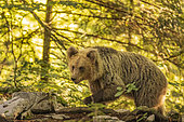Brown bear (Ursus arctos) walking in a forest, Slovenia.