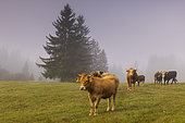 Limousine and Abondance cows in the morning fog on the edge of a forest, Slovenia