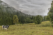 Prim'Holstein cows on the edge of a forest, Slovenia