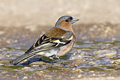 Common Chaffinch (Fringilla coelebs), side view of an adult male standing on the ground, Abruzzo, Italy