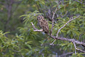 Tawny Owl (Strix aluco), adult perched on a branch, Campania, Italy